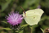 Common Brimstone (Gonepteryx rhamni) on a Knapweed in Germany, Europe — Stock Photo