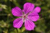 Geranium palustre - Cranesbill in Germany, Europe — Stock Photo