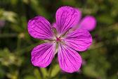 Geranium palustre - storchschnabel in deutschland, europa — Stockfoto