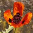 Papaver orientale, Oriental poppy in spring - Stock Photo