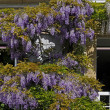 Wisteria sinensis, Chinese Wisteria — Stock Photo