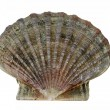 Scallop shell (Pecten maximus) - King scallop — Stock Photo