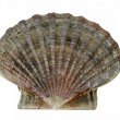 Scallop shell (Pecten maximus) - King scallop - Stock Photo