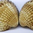 Acanthocardia tuberculata - Cockle shell from France — Stock Photo