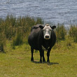 Black cow with white face at the Colliford lake, England — Stock Photo