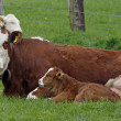 Brown cow with white face and young calf in Germany - Stock fotografie