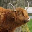 Highland Cattle, Kyloe - Beef cattle with long horns - Stock fotografie