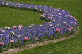 Tulips with grape hyacinths (Muscari armeniacum) — Stock Photo