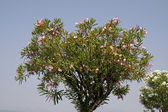 Oleander tree with blossoms, Lake Garda, Italy — Stock Photo