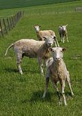 любопытно овцы на пастбище в германии — Стоковое фото