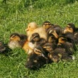 Ducklings, Anas platyrhynchos - Mallard, Germany — Stock Photo