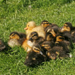 Stock Photo: Ducklings, Anas platyrhynchos - Mallard, Germany