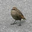 Young Starling in Southwest England, Europe — Stock Photo