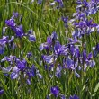 Sibirian Iris (Iris sibirica), spring flower in Germany — Stock Photo