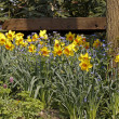 Stock Photo: Lent lilies, Daffodils with and Forget-me-not in spring