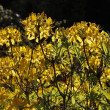 Rhododendron luteum  - Yellow Azalea - Stock Photo
