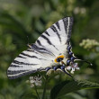Scarce Swallowtail butterfly, Iphiclides podalirius — Stock Photo #9326361