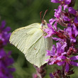 Stock Photo: Brimstone (Gonepteryx rhamni) on (Lythrum salicaria)