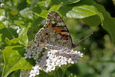 Painted Lady butterfly (Vanessa cardui) — Stock Photo