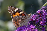 Vanessa cardui, Painted lady butterfly (Cynthia cardui) — Stock Photo