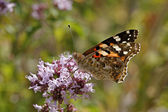 Painted Lady butterfly (Vanessa cardui) on Origanum vulgare — 图库照片