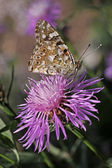 Vanesssa cardui, Painted Lady butterfly on Centaurea phrygia — Stock Photo