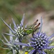 Stock Photo: Eryngium amethystinum, Sea-holly with grasshopper