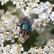 Greenbottle fly, Lucilia sericata on Yarrow, Achillea — Stock Photo