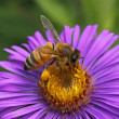 Stock Photo: European honey bee on New England Aster