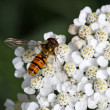 Stock Photo: Episyrphus balteatus, Syrphid fly on Yarrow bloom