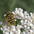 Myathropa florea, Syrphid fly on Yarrow bloom (Achillea) — Stock Photo