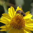 Stock Photo: Syrphid fly (Eristalis) on yellow flower in Germany, Europe