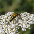 Strangalia maculata beetle on Yarrow (Achillea) — Stock Photo