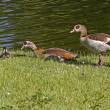 Stock Photo: EgyptiGoose (Alopochen aegytiacus) with young animal in Germany