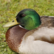 Anas platyrhynchos - Mallard, male duck in Germany — Stock Photo