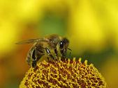 European honey bee, Apis mellifica on Helenium — Stock Photo
