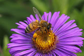 European honey bee on New England Aster — Stock Photo