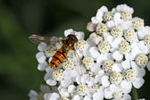 Episyrphus balteatus, Syrphid fly on Yarrow bloom — Stock Photo