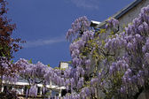 Chinese Wisteria (Wisteria sinensis) in spring, Germany — Stock Photo