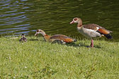 Egyptian Goose (Alopochen aegytiacus) with a young animal in Germany — Stock Photo