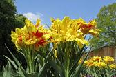 Tulipa Monsella, Double early tulip — Stock Photo