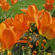 Stock Photo: Tulip sort Orange Emperor, Fosteriantulip