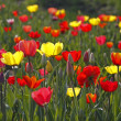 Tulip mixture in spring, Germany, Europe — Stock Photo #9467256