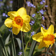 Lent lilies, Daffodils with and Forget-me-not in spring, Germany, Europe — Stock Photo #9468188