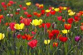Tulip mischung spring, deutschland, europa — Stockfoto
