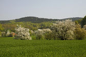 Cherry blossom in April in Holperdorp, Germany — Stock Photo