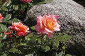 ドイツでは、ヨーロッパの石でピンクのバラ — ストック写真