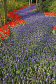 Blue Grape hyacinth with red tulips in Holland — Stock Photo
