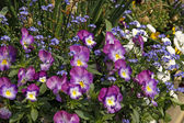 Violets and forget-me-not in spring, Germany — Stock Photo