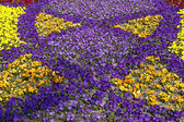 Horned Pansy, Horned Violet, Johnny-Jump-Up — Stock Photo